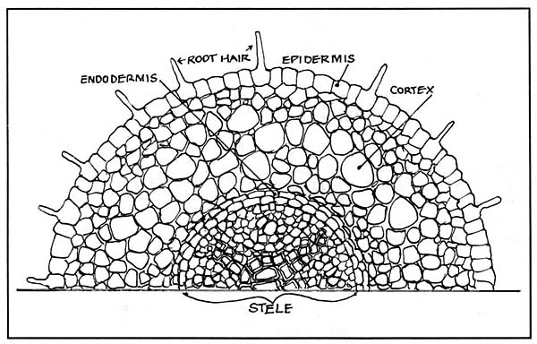 cross-section of a non-mycorrhizal root