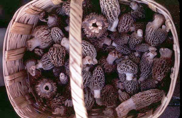 This is a basket of morels